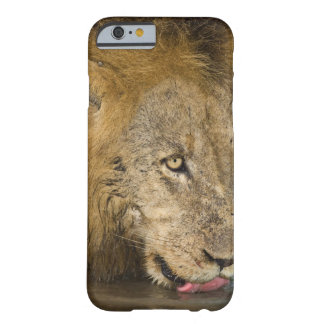Male lion drinking, Greater Kruger National Barely There iPhone 6 Case