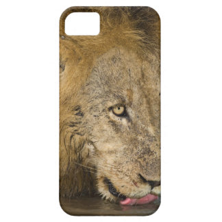 Male lion drinking, Greater Kruger National iPhone 5 Cover