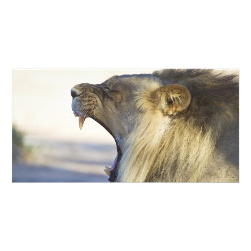 Male Lion Giving a Big Yawn or Growl Customized Photo Card