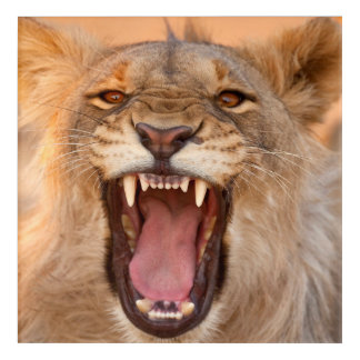Male Lion Growling Acrylic Print