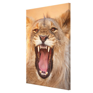 Male Lion Growling Canvas Print