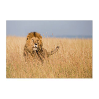 Male Lion Hidden in Grass Acrylic Print
