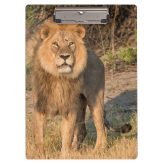 Male lion looking at viewer,in grassland clipboard