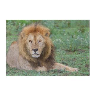 Male Lion Lying Down Acrylic Wall Art