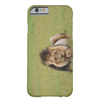 male lion, Panthera leo, cleaning itself, Barely There iPhone 6 Case