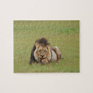 male lion, Panthera leo, cleaning itself, Jigsaw Puzzle
