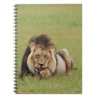 male lion, Panthera leo, cleaning itself, Notebook