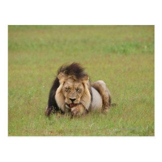 male lion, Panthera leo, cleaning itself, Postcard