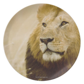 Male lion (Panthera leo) portrait, Masai Mara, Plate