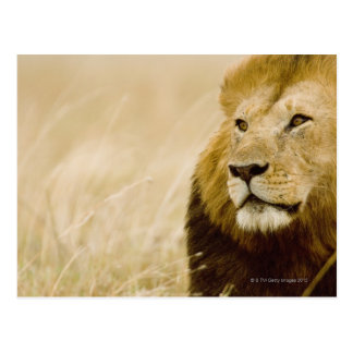 Male lion (Panthera leo) portrait, Masai Mara Postcard