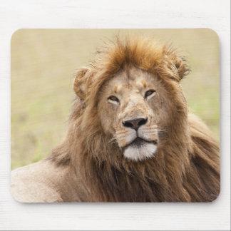 Male Lion Panthera leo) resting, Masai Mara Mouse Mat