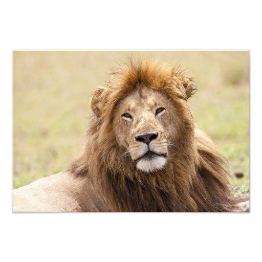 Male Lion Panthera leo) resting, Masai Mara Photograph