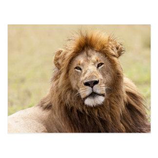 Male Lion Panthera leo) resting, Masai Mara Postcard