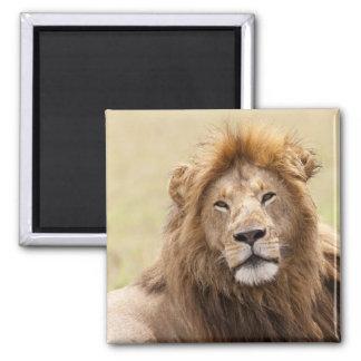 Male Lion Panthera leo) resting, Masai Mara Square Magnet