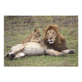 Male Lion Panthera leo) resting with cub, Photo Print
