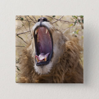 Male Lion (Panthera leo) yawning, Masai Mara 15 Cm Square Badge