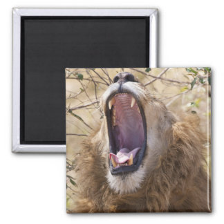 Male Lion (Panthera leo) yawning, Masai Mara Magnet