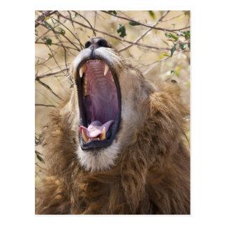 Male Lion (Panthera leo) yawning, Masai Mara Postcard