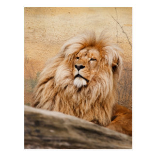 Male Lion Photo Postcard