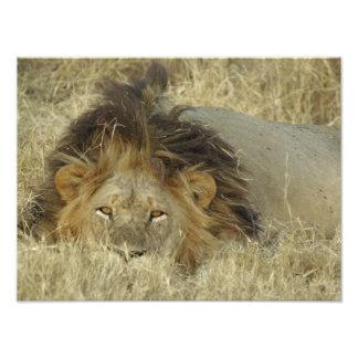 MALE LION photo print