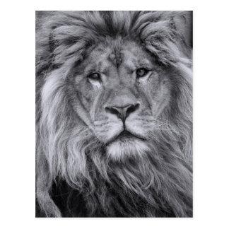 Male lion portrait postcard