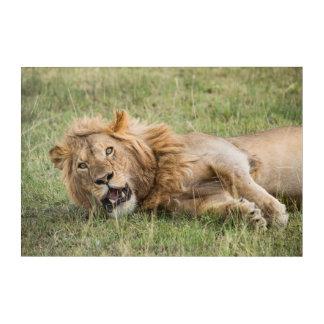Male Lion Resting Acrylic Wall Art
