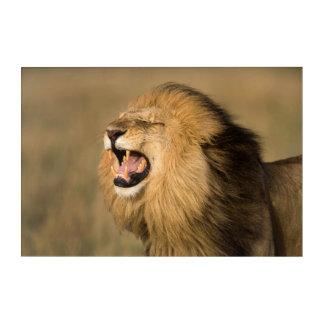 Male Lion Roaring Acrylic Wall Art