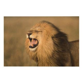 Male Lion Roaring Wood Print