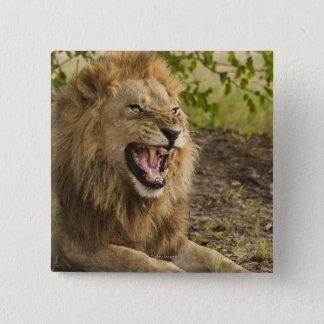 Male lion snarling (Panthera leo), Okavango 15 Cm Square Badge