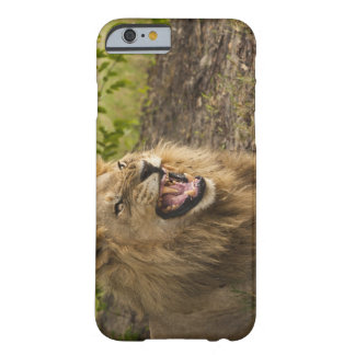 Male lion snarling (Panthera leo), Okavango Barely There iPhone 6 Case