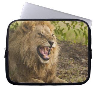 Male lion snarling (Panthera leo), Okavango Laptop Sleeve