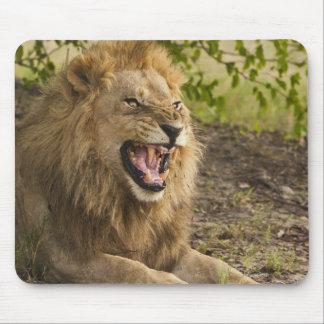 Male lion snarling (Panthera leo), Okavango Mouse Mat