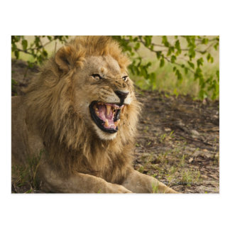 Male lion snarling (Panthera leo), Okavango Postcard