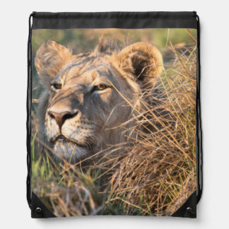 Male lion stalking in grass, head peeking out drawstring bag