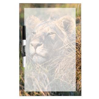 Male lion stalking in grass, head peeking out dry erase board