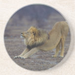 Male Lion Stretching Panthera Leo Yoga Drink Coasters