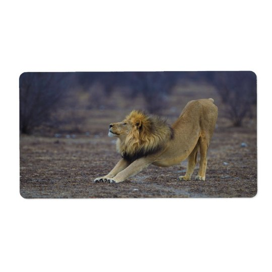 Male Lion Stretching Panthera Leo Yoga Shipping Label