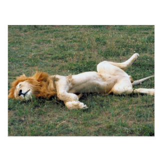 Male Lion Stretching Postcard