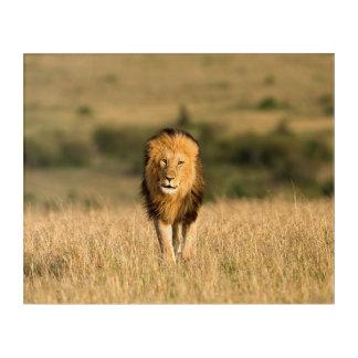 Male Lion Walking Acrylic Wall Art