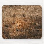 Male lion wild animal safari computer mousepads