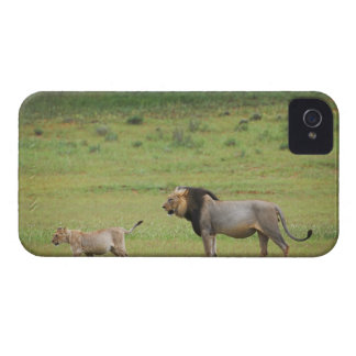male lion with cub, Panthera leo, Kgalagadi iPhone 4 Case-Mate Case