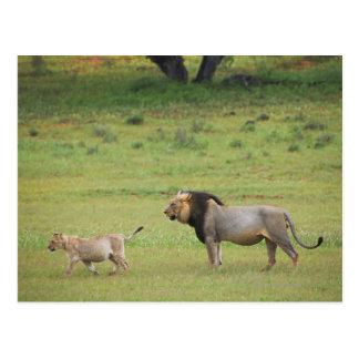 male lion with cub, Panthera leo, Kgalagadi Postcard