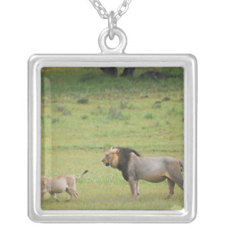 male lion with cub, Panthera leo, Kgalagadi Silver Plated Necklace
