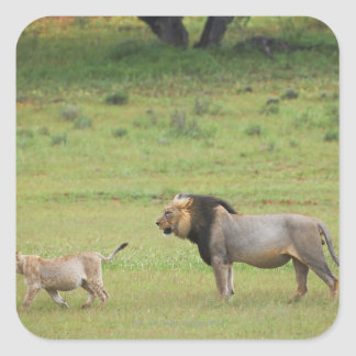 male lion with cub, Panthera leo, Kgalagadi Square Sticker