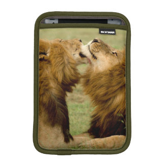 Male Lions (Panthera Leo) Grooming, Maasai Mara iPad Mini Sleeve