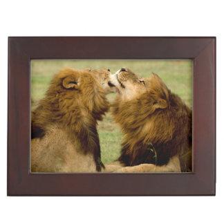 Male Lions (Panthera Leo) Grooming, Maasai Mara Keepsake Box