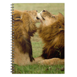 Male Lions (Panthera Leo) Grooming, Maasai Mara Notebook