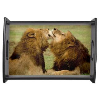 Male Lions (Panthera Leo) Grooming, Maasai Mara Serving Tray