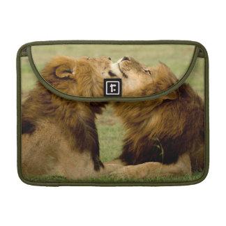 Male Lions (Panthera Leo) Grooming, Maasai Mara Sleeve For MacBooks