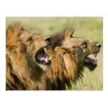 Male lions roaring, Greater Kruger National